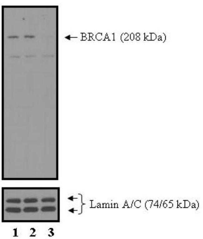 BRCA1 Antibody in KnockDown
