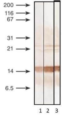 Procalcitonin Antibody in Western Blot (WB)