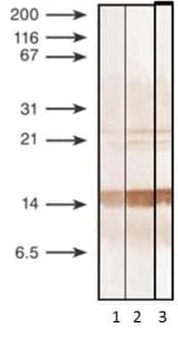 Procalcitonin Antibody in Western Blot (WB)