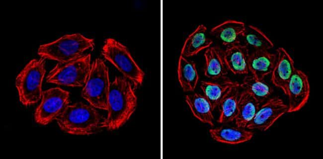 Ku70/Ku80 Antibody in Immunofluorescence (IF)