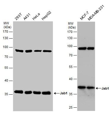 JAB1 Antibody in Western Blot (WB)