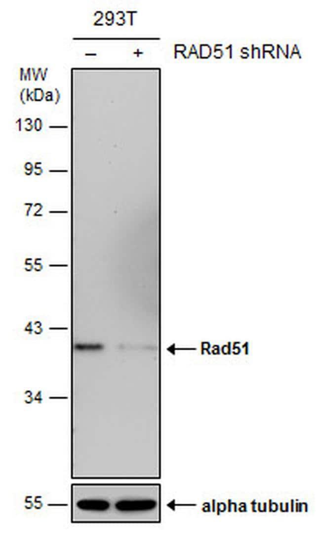 RAD51 Antibody in Knockdown