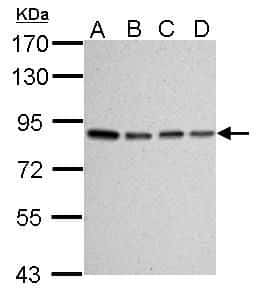 Ku80 Antibody in Western Blot (WB)