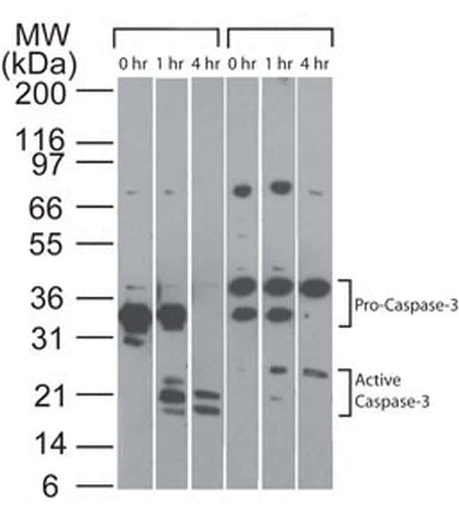 pro-Caspase 3 Antibody in Cell treatment