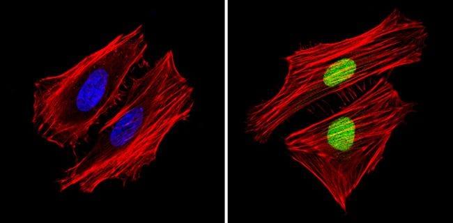 APE1 Antibody in Immunofluorescence (IF)