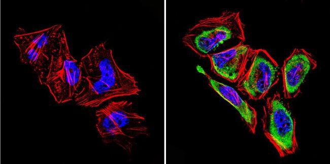 GRK1 Antibody in Immunocytochemistry (ICC/IF)