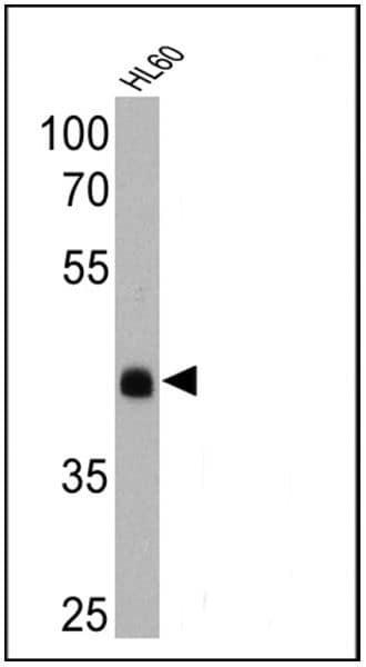 Rhodopsin Antibody in Western Blot (WB)