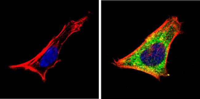RARA Antibody in Immunofluorescence (IF)
