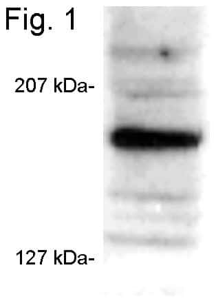 SRC3 Antibody in Western Blot (WB)