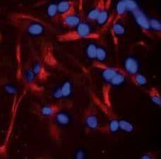 A2B5 Antibody in Immunofluorescence (IF)