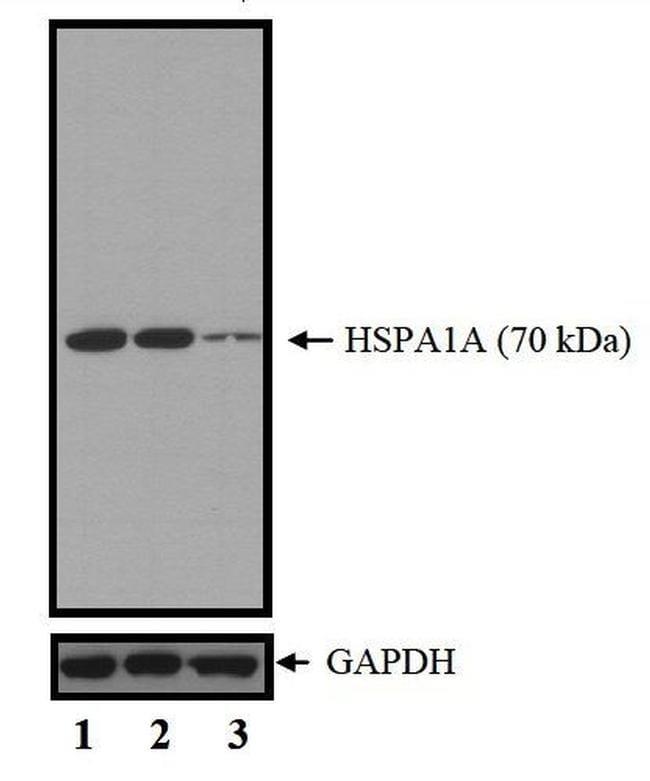 HSP70 Antibody in KnockDown