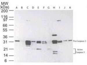 Active/Pro-Caspase 3 Antibody in Western Blot (WB)