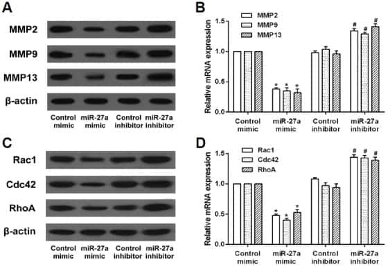 MMP2 Antibody