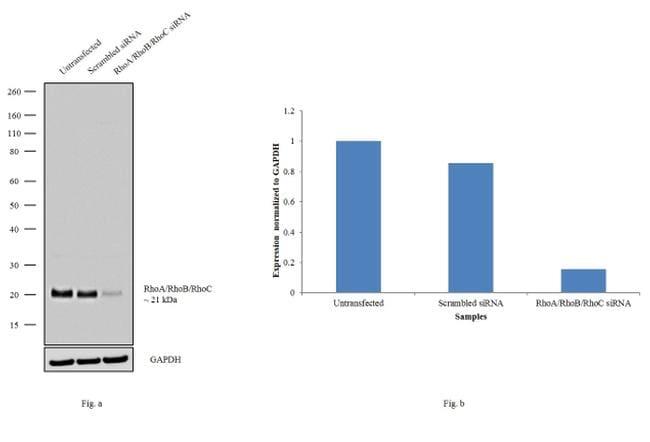 RhoA/RhoB/RhoC Antibody in Knockdown