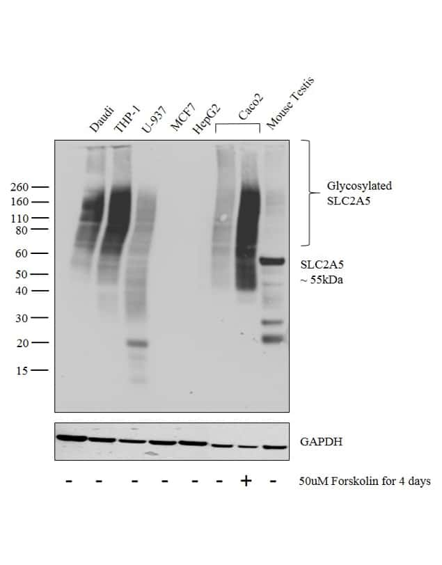 SLC2A5 Antibody in Relative expression