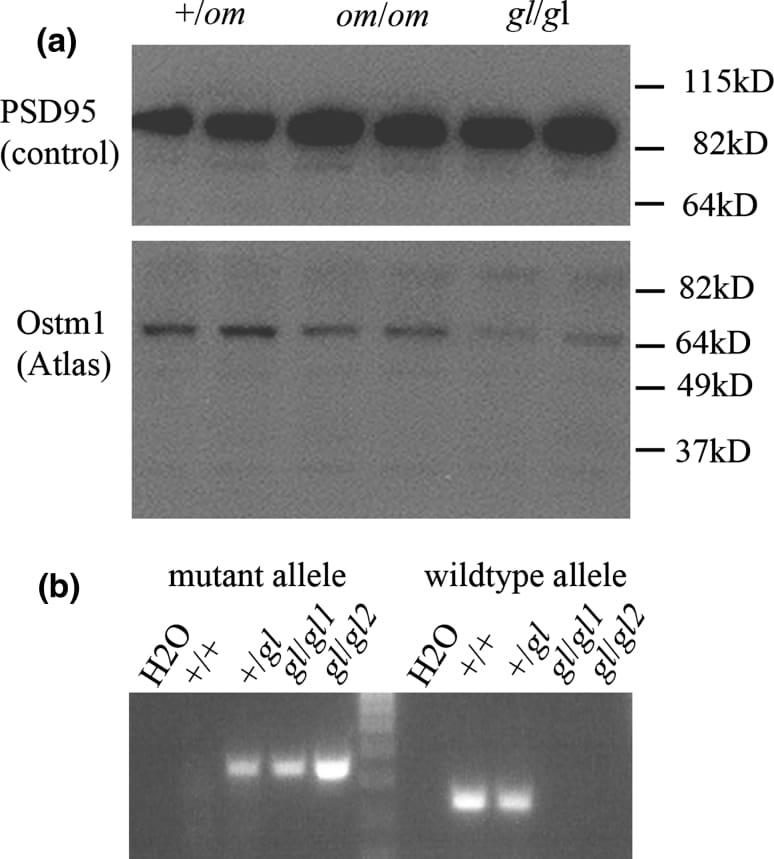 PSD-95 Antibody
