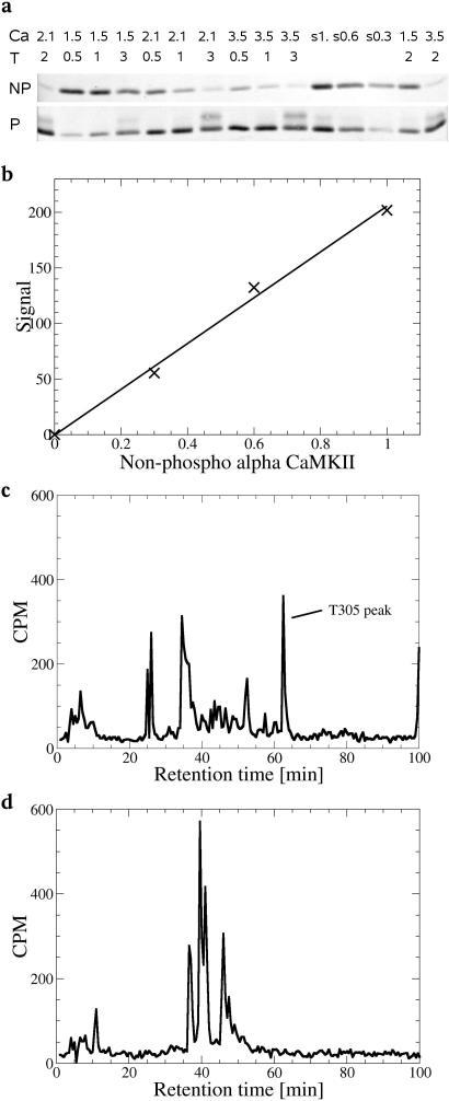 Phospho-CaMKII alpha (Thr286) Antibody