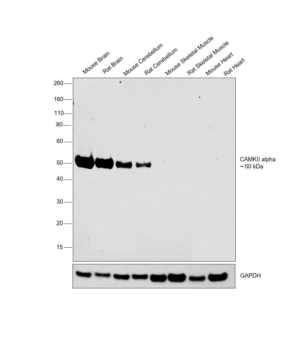 CaMKII alpha Antibody in Relative expression