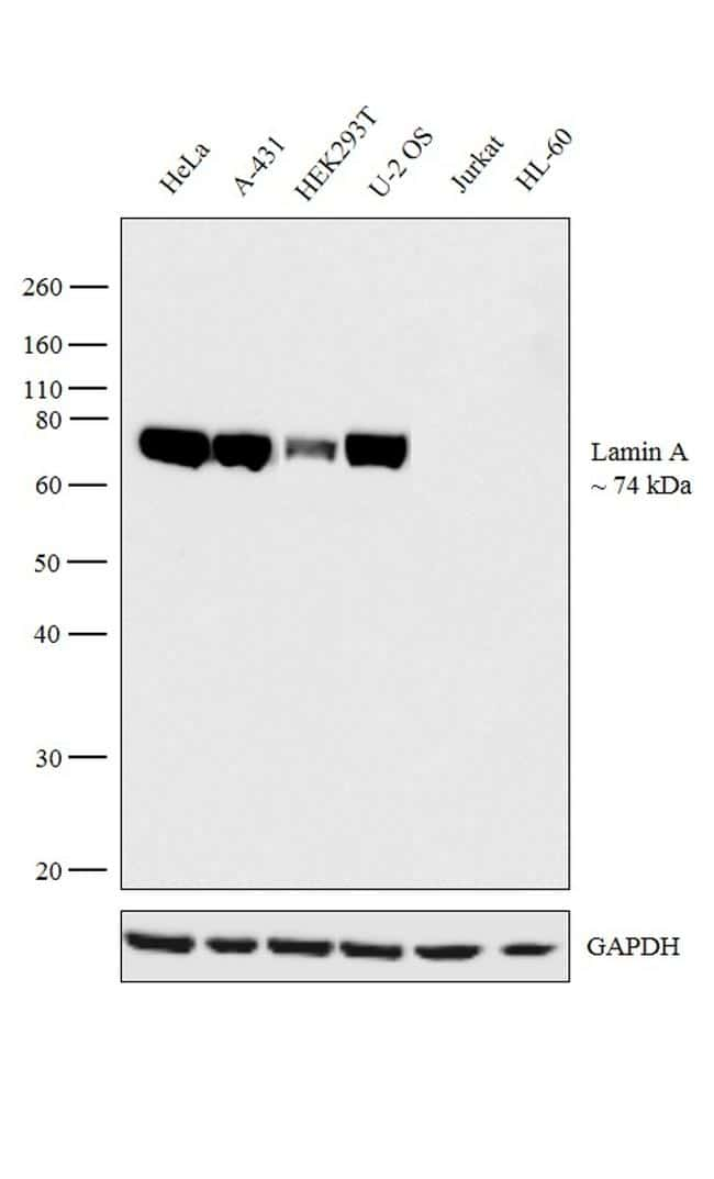 Lamin A Antibody in Relative expression