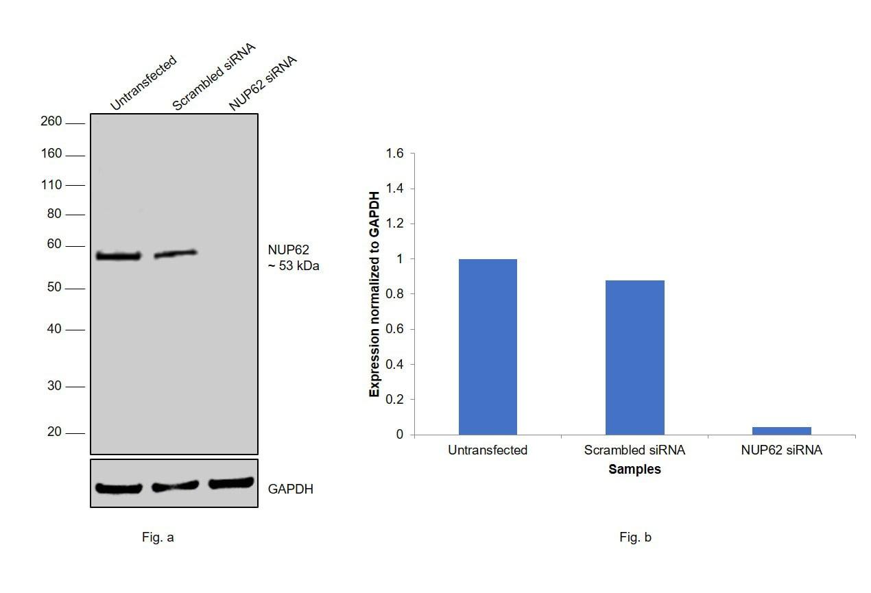 NUP62 Antibody