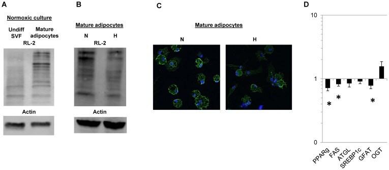 O-linked N-acetylglucosamine (O-GlcNAc) Antibody