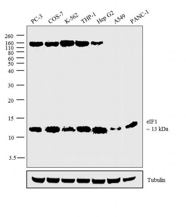 eIF1 Antibody in Western Blot (WB)