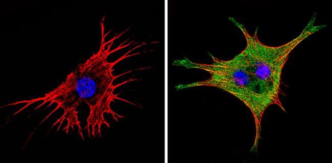 eIF1 Antibody in Immunofluorescence (IF)
