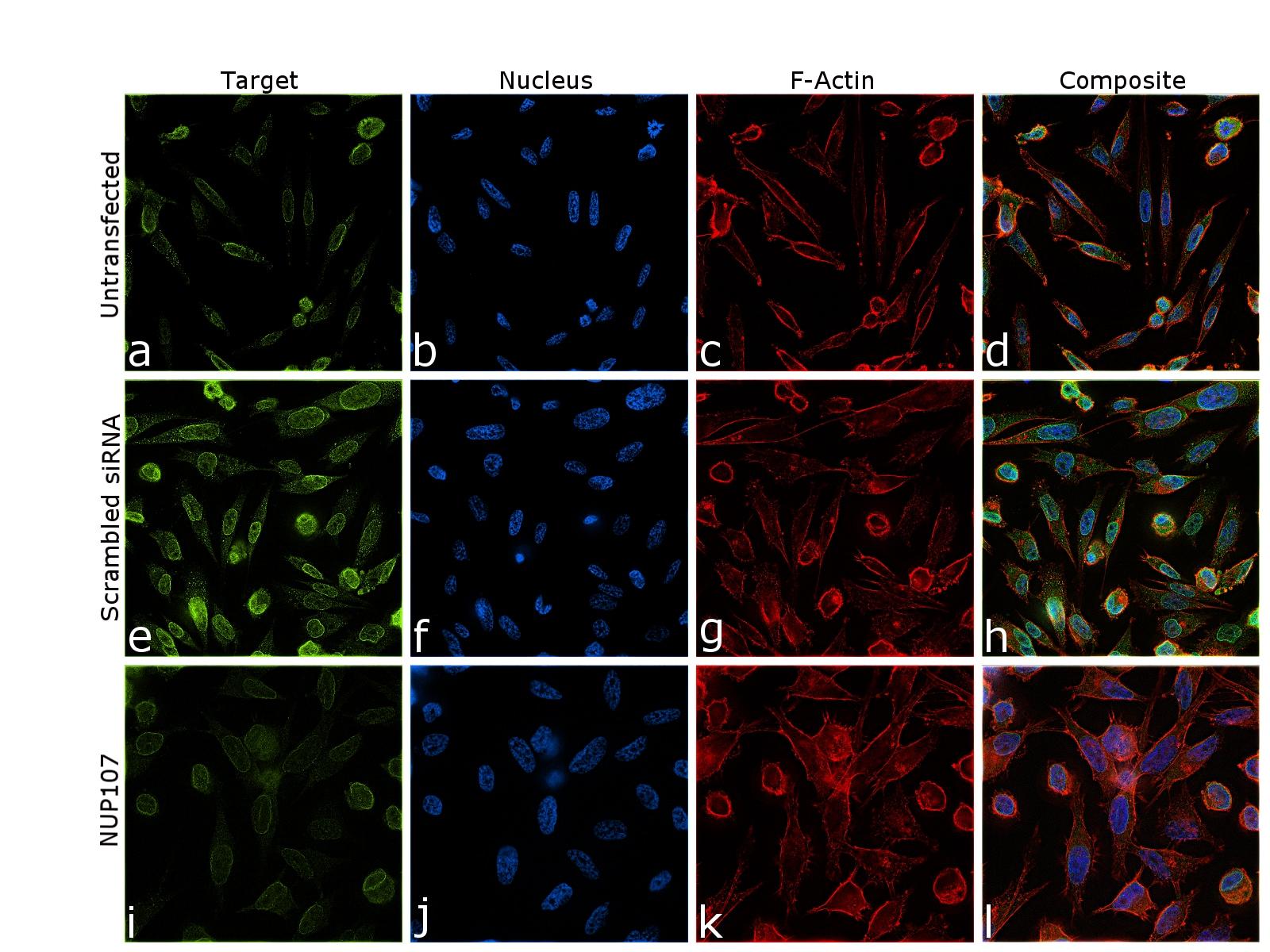 NUP107 Antibody in Immunofluorescence (IF)