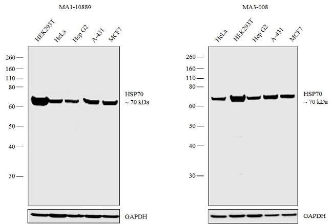 HSP70 Antibody in Independent antibody
