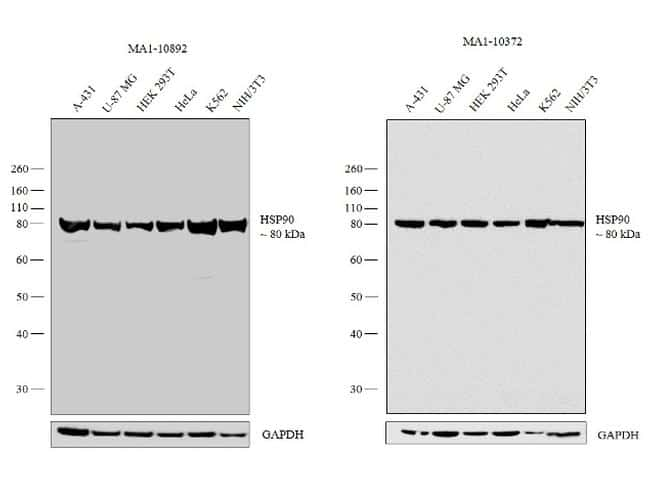 HSP90 Antibody in Independent antibody