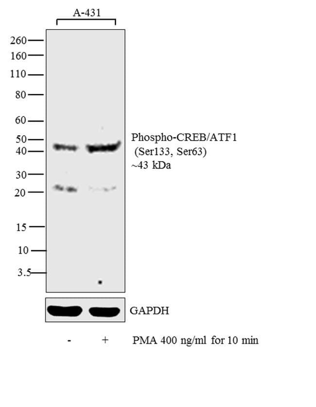Phospho-CREB/ATF1 (Ser133, Ser63) Antibody in Cell treatment