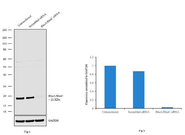 RhoA/RhoC Antibody in Western Blot (WB)