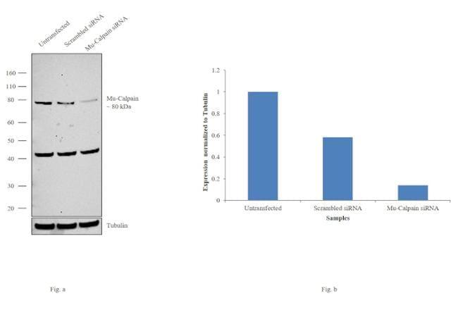 Mu-Calpain Antibody in Western Blot (WB)