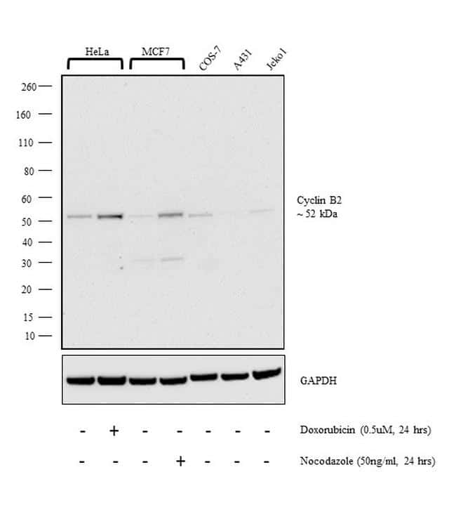 Cyclin B2 Antibody in Cell Treatment