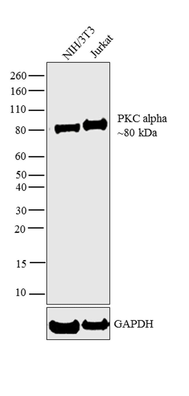 PKC alpha Antibody in Western Blot (WB)