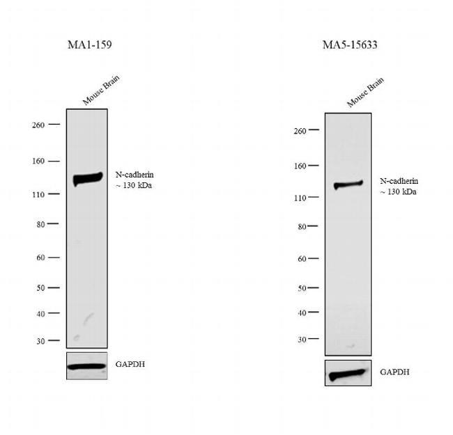 N-cadherin Antibody in Independent antibody