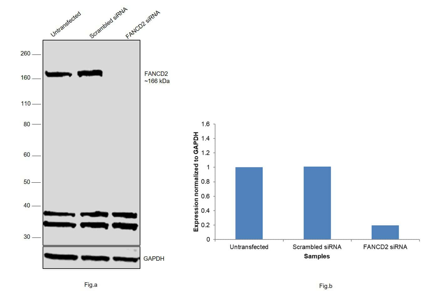 FANCD2 Antibody in Western Blot (WB)