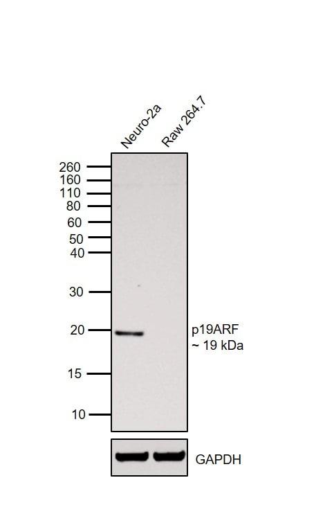 p19ARF Antibody in Western Blot (WB)