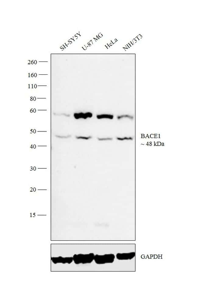 BACE1 Antibody in Western Blot (WB)