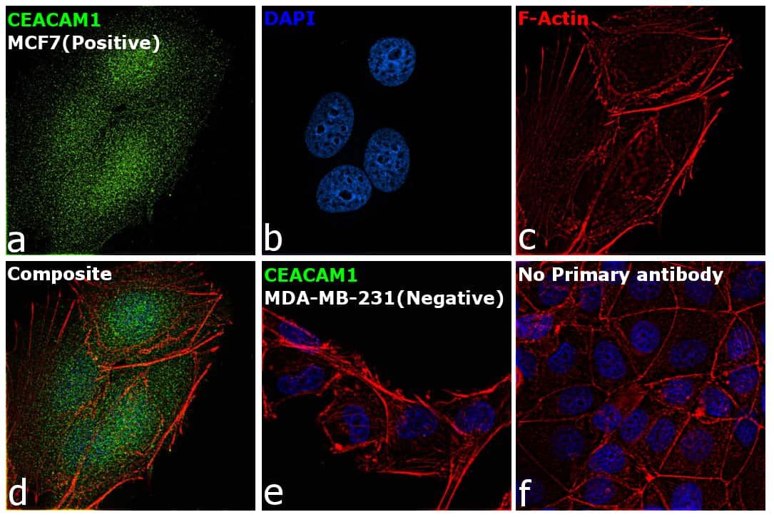 CD66 (CEACAM) Antibody in Relative expression