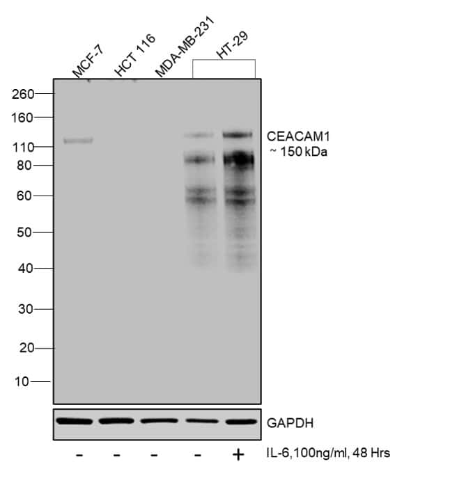 CD66 (CEACAM) Antibody in Cell treatment