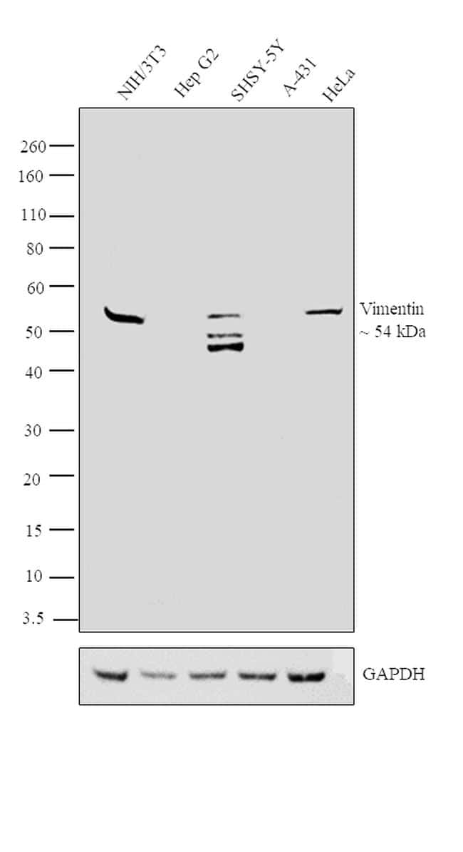 Vimentin Antibody in Relative expression