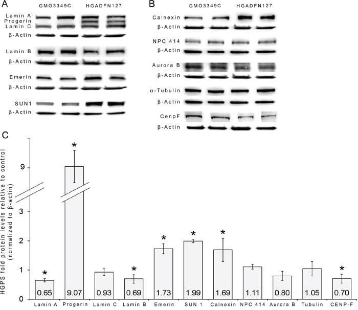 Lamin A/C Antibody