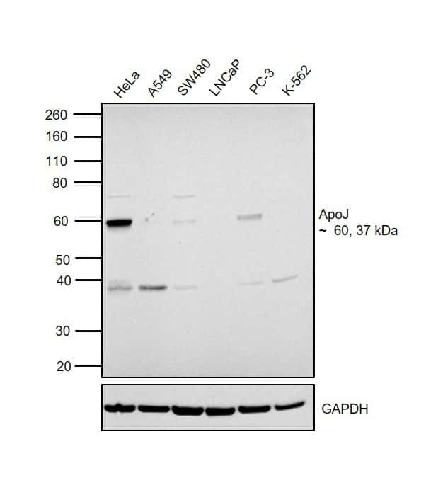Apolipoprotein J Antibody in Relative expression
