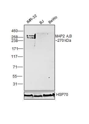 MAP2 Antibody in Relative expression