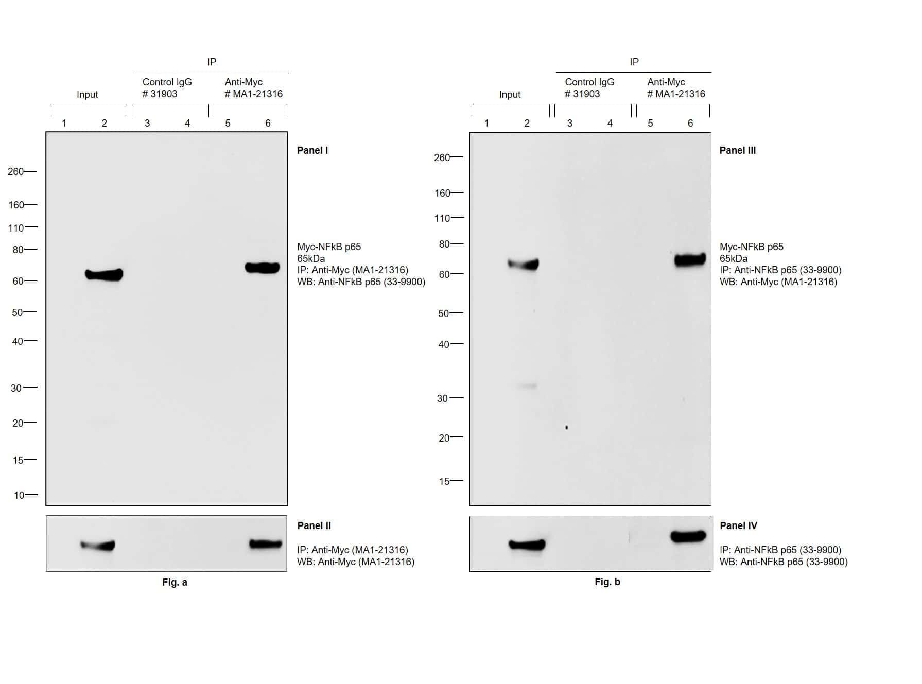 Myc Tag Antibody in Immunoprecipitation (IP)