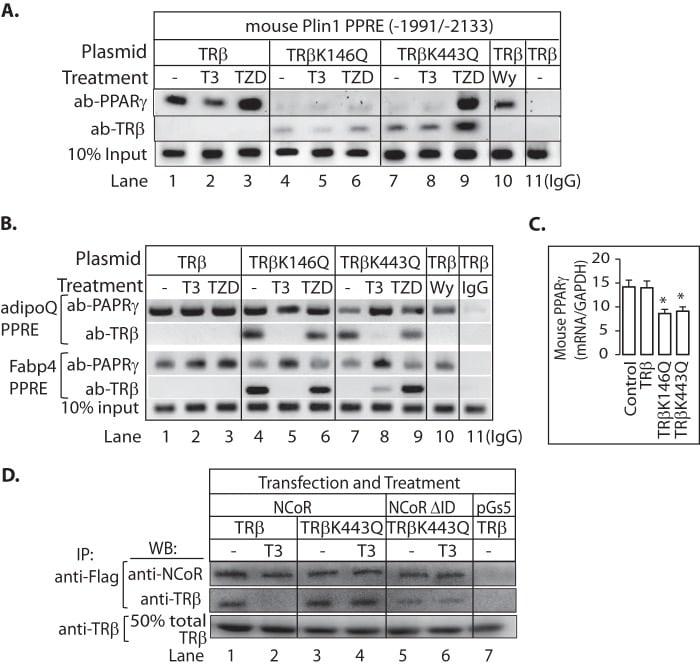 PPAR gamma Antibody
