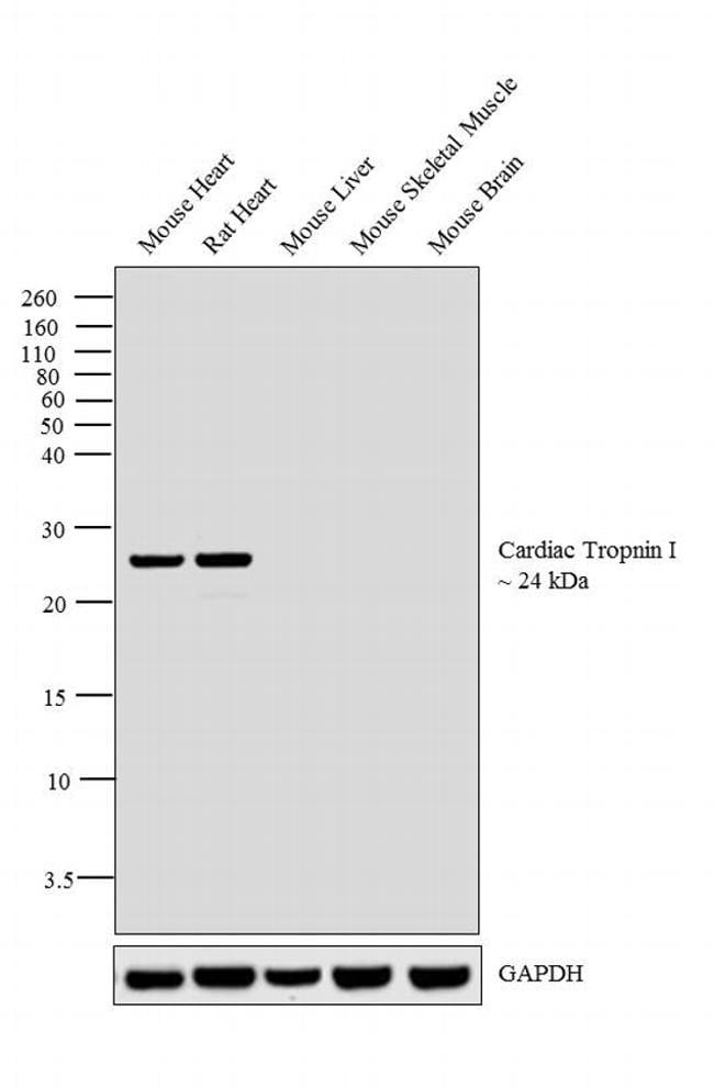 Cardiac Troponin I Antibody in Relative expression