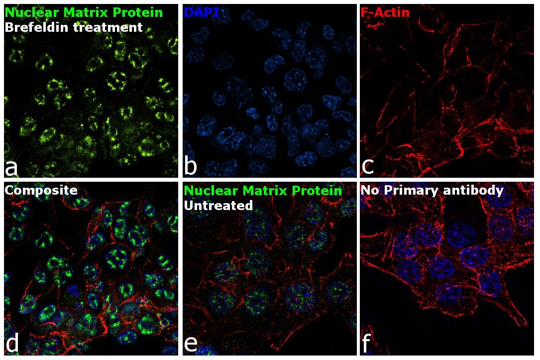 Nuclear Matrix Protein p84 Antibody in Immunofluorescence (IF)