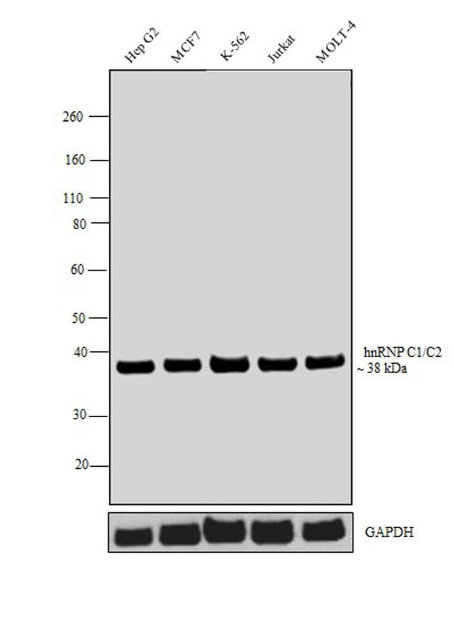 hnRNP C1/C2 Antibody in Western Blot (WB)